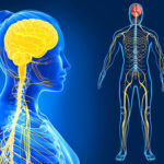 parasympathetic vs. sympathetic nervous system, total yoga, human anatomy